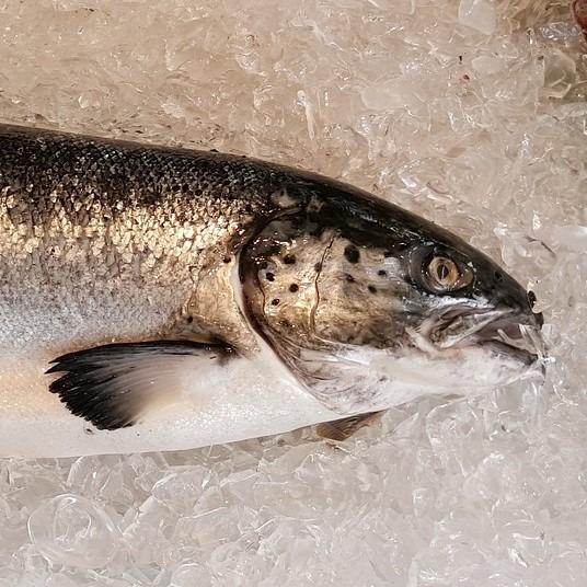 Fresh Whole Salmon